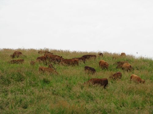 Cattle Grazing on the Hill June 2011