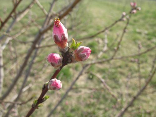 Pretty pink peach blossoms opening March 15, 2012