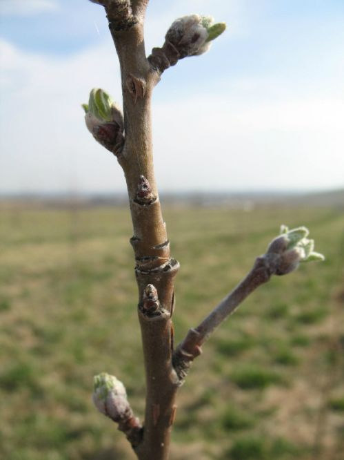 Zestar apple flower buds March 15, 2012