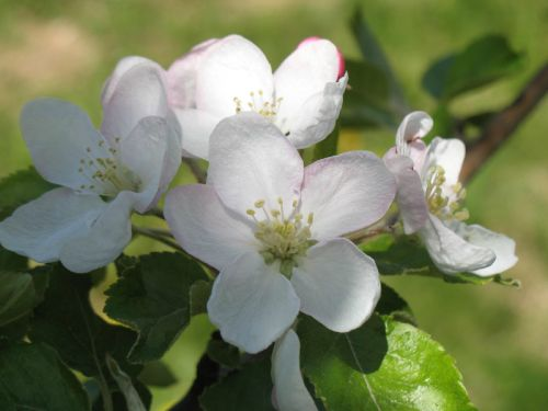 Apple Blossoms April 13, 2012