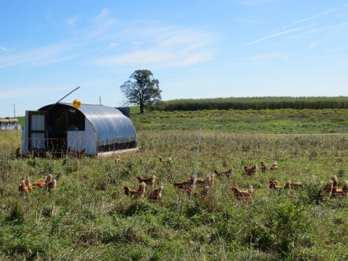 Our Pastured Chickens