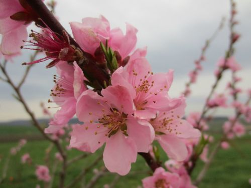 Peach Blossoms 2013