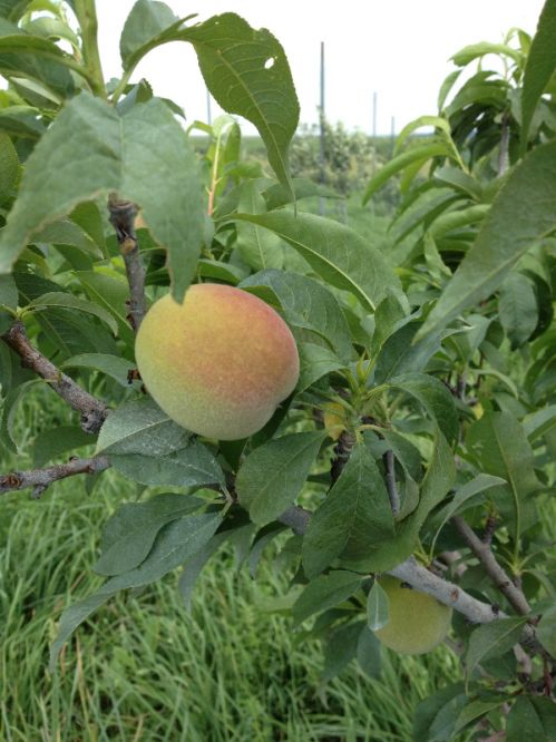 Peach season 2013 is getting closer!