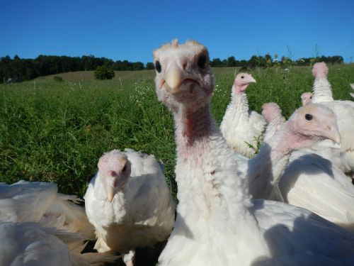 Our curious turkeys Sept 2015