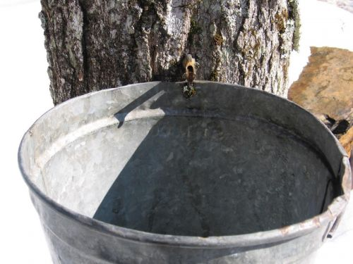 Sap dripping into a bucket