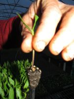 Seedlings get transplanted