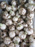 Onions fresh from the ground