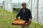 Harvesting sungolds
