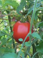 Beefsteak tomato growing