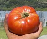 A big, beautiful heirloom tomato