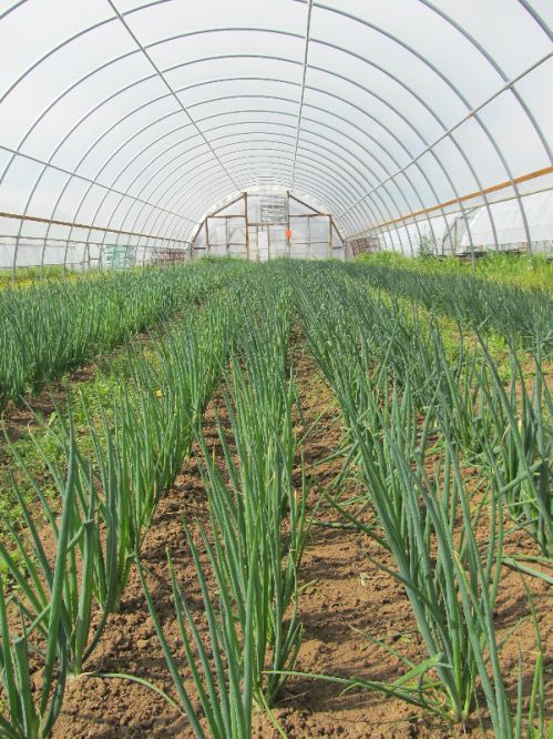 Onions growing in the hoop