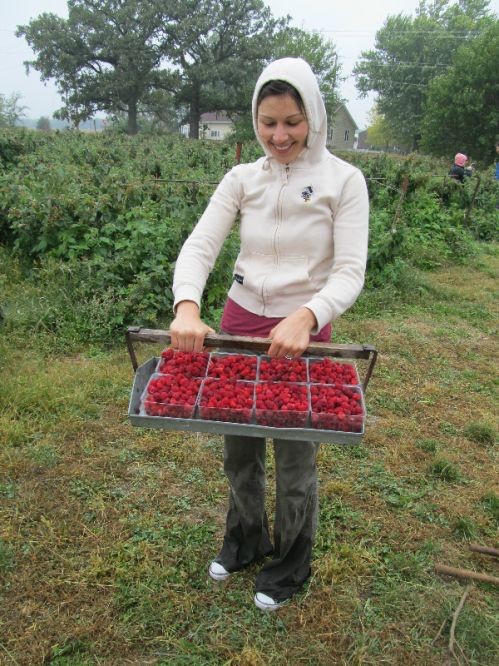 CSA members helped pick raspberries.