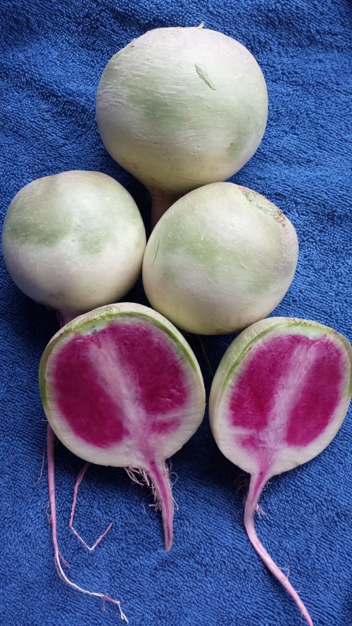 Red Meat Radishes