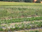 View of our Vegetables growing in the fields