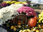 Our own homegrown Mums and Gourds