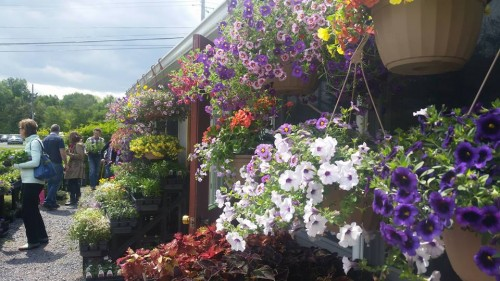 Our signature look is having our hanging baskets all the way around the market, beautiful colors!