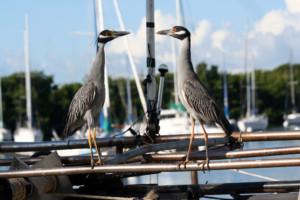 Two Teenage Herons Doing A Stareoff Florida