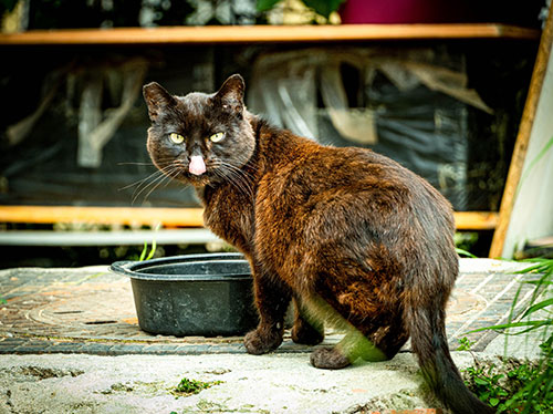 black and brown cat with ear tip licking face by bowl outside