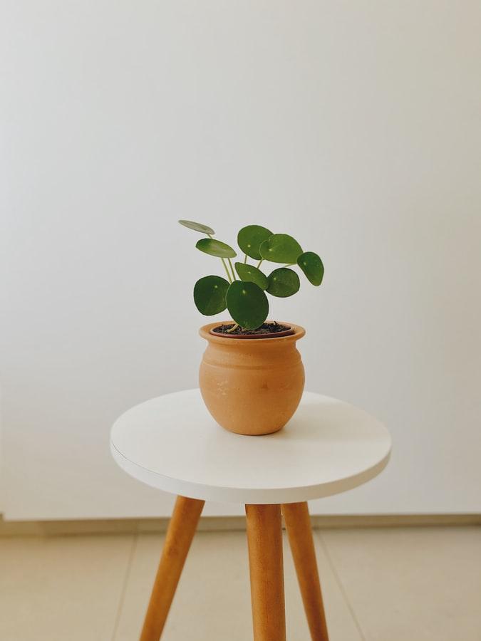Plant Pilea