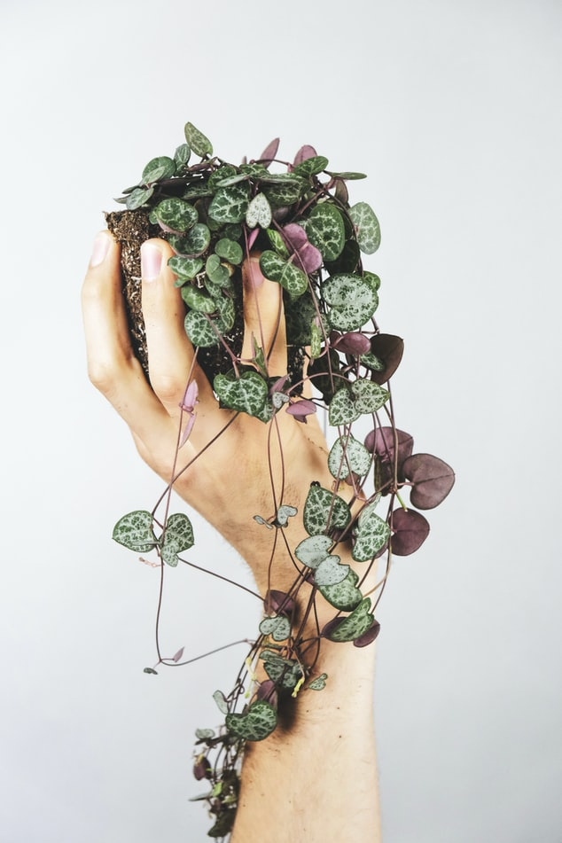 Plant String of hearts