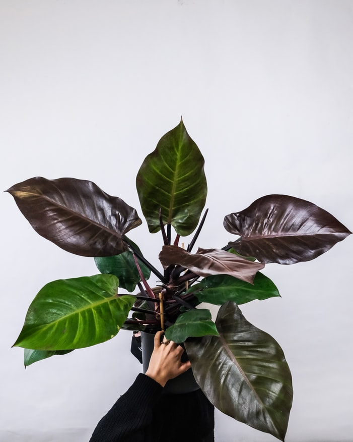 Plant Philodendron