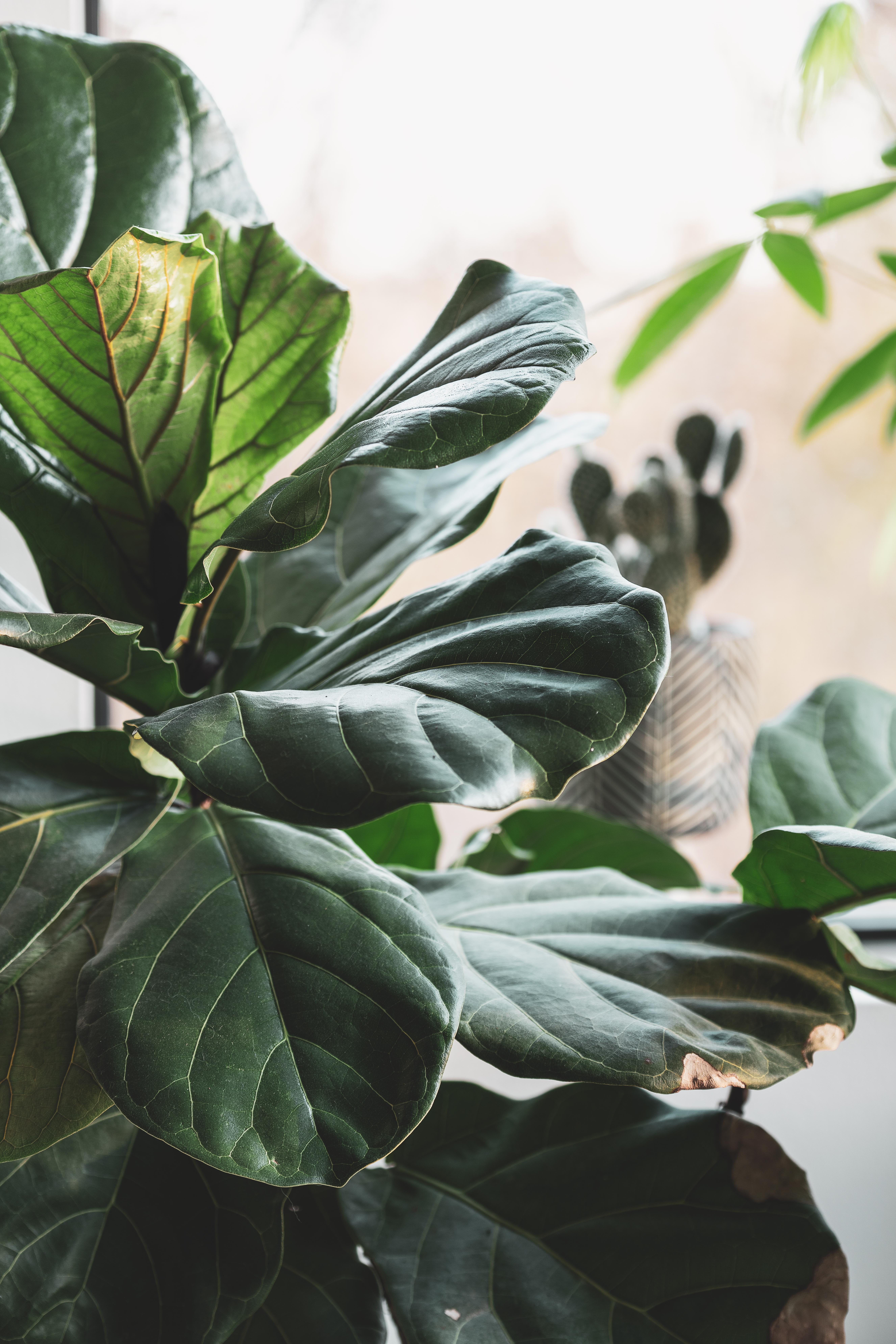 Plant fiddle leaf fig