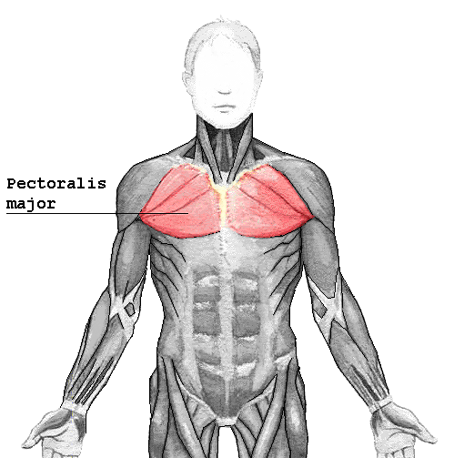 Chest Training and the Anatomy of Pectoralis Major  or Pecs