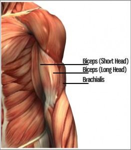 Strength Training and Strength Exercises: Biceps Chin-ups and Barbell Curls