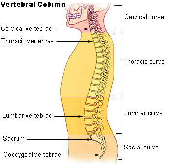 Bench Press, Back Anatomy and Vertebral Column