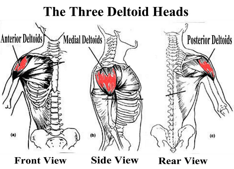 Boulder Shoulders: BodyBuilding Anatomy for the 3 Deltoid Heads
