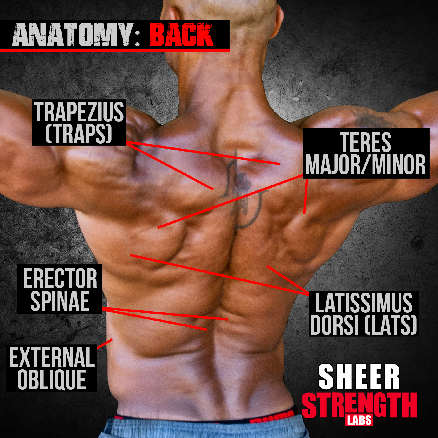 Bodybuilding Muscle Anatomy: Back Muscles