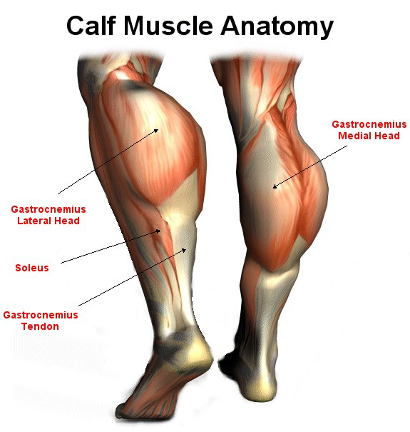 Calf Training and Calf Muscle Anatomy