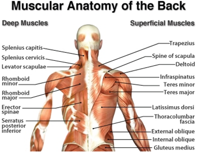 Row Your Way to a Thicker Back: Muscular Anatomy of the Back