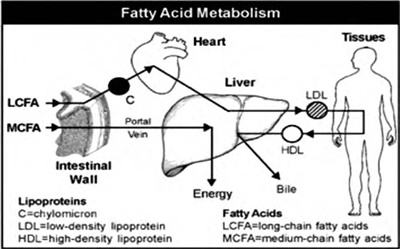 Coconut Oil: Fatty Acids Metabolism