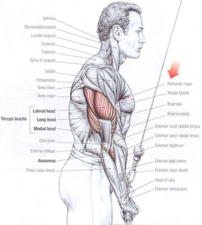 Triceps Training: Triceps Anatomy for Lateral Head, Long head and Medial Head