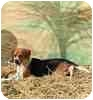 Beagle Puppy for adoption in Apple Valley, California - Scout