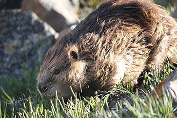 Beavers Help With Apologetics Formal Debate Jailbreak