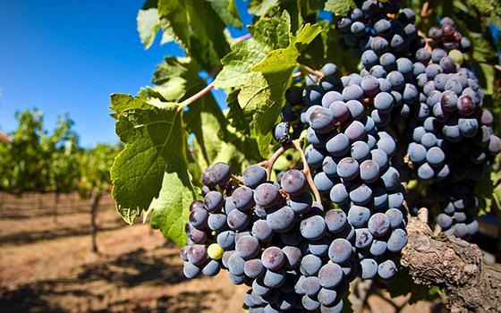 grape-1133199_640-560x350