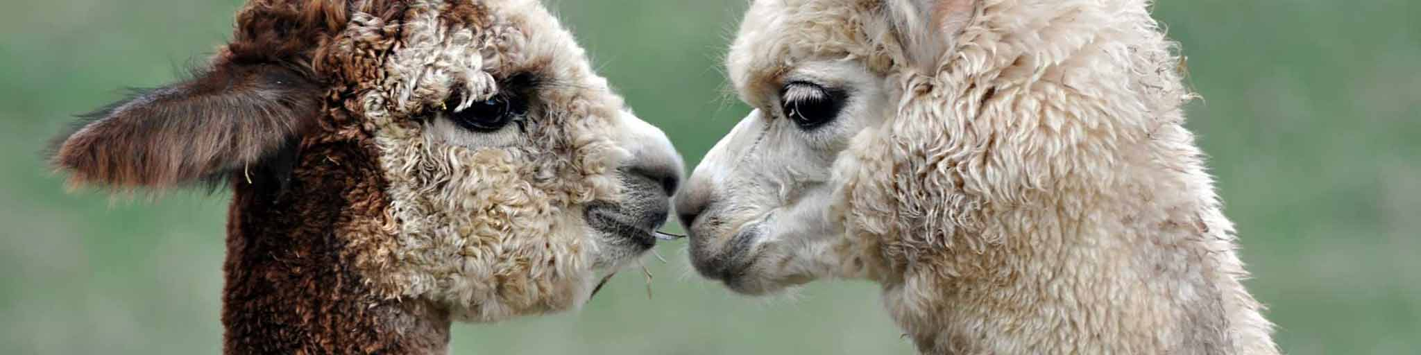 Alpacas nuzzling each other