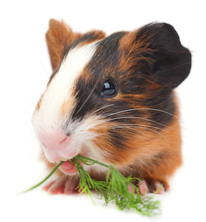 SPS has it all bedding hay snacks toys