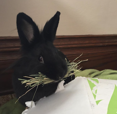 get your rabbit to eat more hay