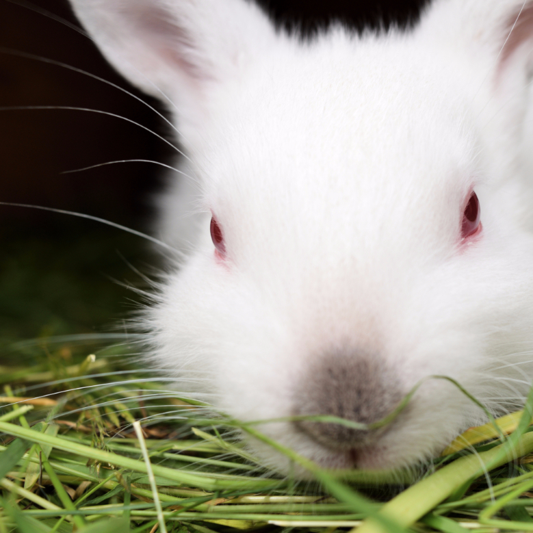 white bunny with second cut imothy hay from small pet select