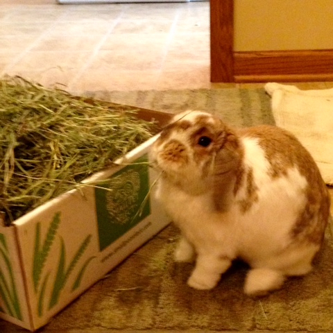 lop rabbit eating hay
