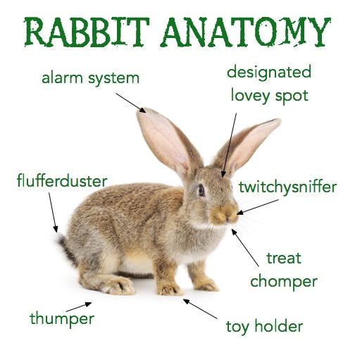 cute rabbit anatomy