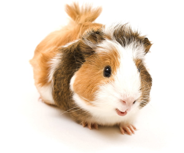 guinea pig with back flip