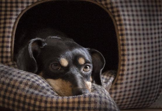 black & tan dachshund
