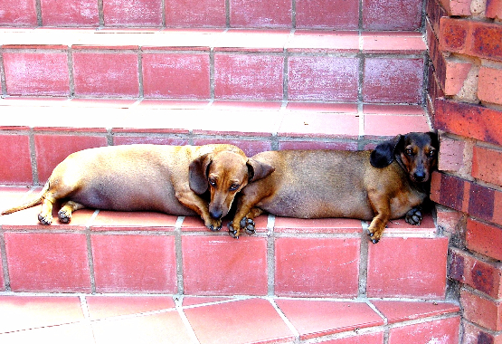 overweight dachshunds on steps