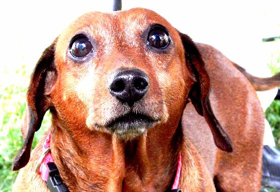 older dachshund