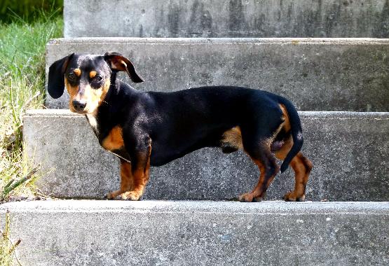 dachshund on steps