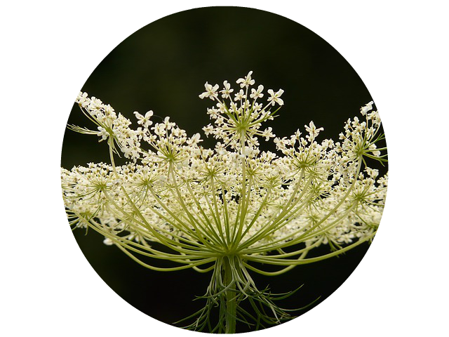 Wild Carrot For Pancreas Boost